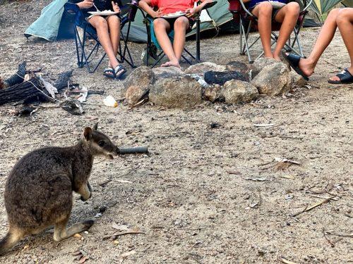 野生のロックワラビーとキャンプ